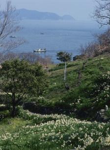 六島のスイセンと瀬戸内海の写真素材 [FYI03319633]
