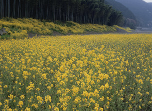 錦川河川敷の花の写真素材 [FYI03319650]