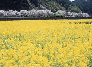 錦川鉄道 南河内駅付近の花畑の写真素材 [FYI03319653]