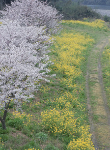 錦川河川敷の花の写真素材 [FYI03319655]