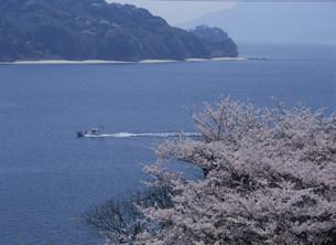 大畠瀬戸の桜の写真素材 [FYI03319663]
