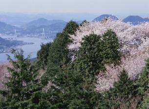 岩城島 積善山の桜の写真素材 [FYI03319664]