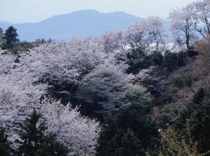 岩城島 積善山の桜の写真素材 [FYI03319665]
