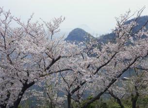 五条の千本桜の写真素材 [FYI03319671]
