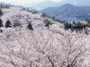 伯方島 開山公園の桜の写真素材 [FYI03319675]