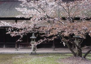 大山祇神社 境内の落花の写真素材 [FYI03319683]