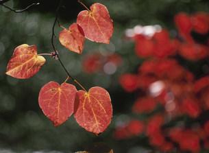 ベニマンサクの紅葉の写真素材 [FYI03319703]