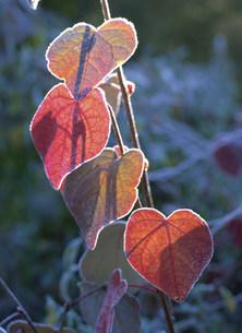 ベニマンサクの紅葉の写真素材 [FYI03319704]