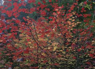 ベニマンサクの紅葉の写真素材 [FYI03319706]