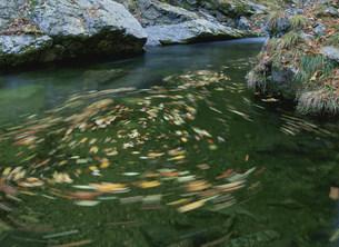 渓流に舞う落ち葉 中津谷渓谷の写真素材 [FYI03319713]