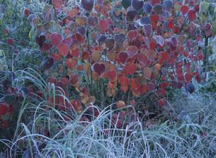 ベニマンサクの紅葉の写真素材 [FYI03319714]