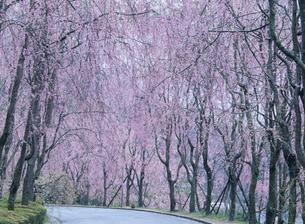 シダレ桜 甲山ふれあいの里の写真素材 [FYI03319768]
