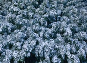 竹林雪景の写真素材 [FYI03319771]