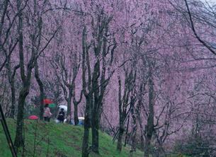 シダレ桜 甲山ふれあいの里の写真素材 [FYI03319773]