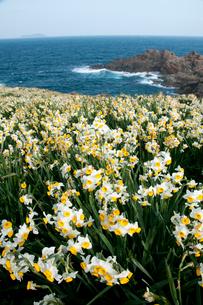 スイセンの咲く海岸の写真素材 [FYI03319783]