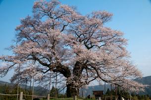 醍醐桜の写真素材 [FYI03319811]
