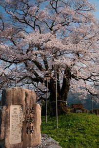 醍醐桜の写真素材 [FYI03319812]