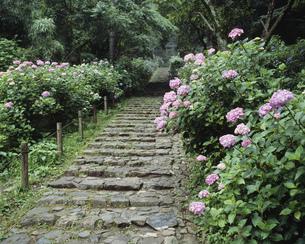 太平山アジサイ坂の写真素材 [FYI03319893]