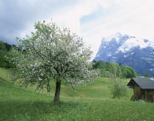 花の咲く木とヴェッターホルンの写真素材 [FYI03320976]