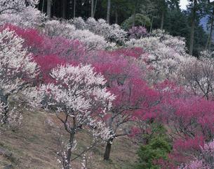 湯河原梅林 3月   神奈川県の写真素材 [FYI03323894]