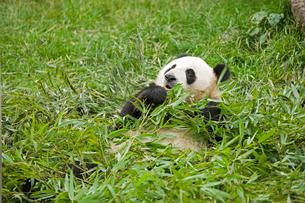 パンダ パンダ保護センターの写真素材 [FYI03330265]