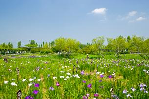 水生植物園のアヤメ祭の写真素材 [FYI03330589]