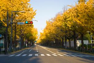 海岸通りの銀杏並木の写真素材 [FYI03330706]