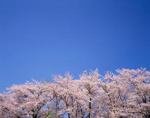 桜(染井吉野)の写真素材 [FYI03331241]
