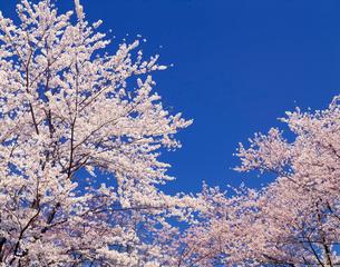 桜(染井吉野)の写真素材 [FYI03331247]