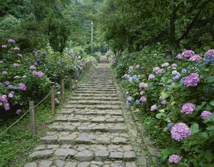 大平山のあじさい坂の写真素材 [FYI03331346]