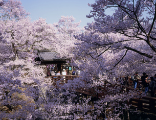 桜の高遠城跡の写真素材 [FYI03331474]