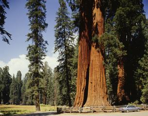 巨大杉 セコイヤ国立公園の写真素材 [FYI03331784]