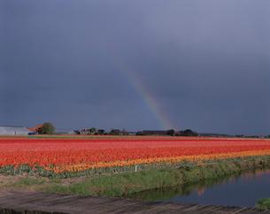 チューリップ畑と虹の写真素材 [FYI03331882]