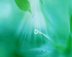 光のシャワーを浴びる葉に付いた水滴と水紋の写真素材 [FYI03331933]