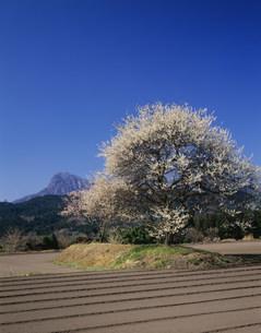 松井田の梅 左奥は妙義山の写真素材 [FYI03332537]