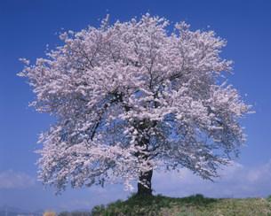 松井田の一本桜(春)の写真素材 [FYI03332658]