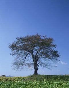 松井田の一本桜(秋)の写真素材 [FYI03332665]