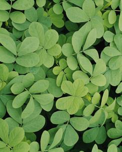 薬用植物 エビスグサの写真素材 [FYI03332862]