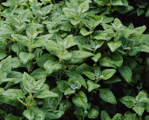 薬用植物ツルナの写真素材 [FYI03332872]