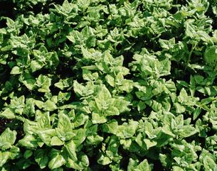 薬用植物ツルナの写真素材 [FYI03332873]