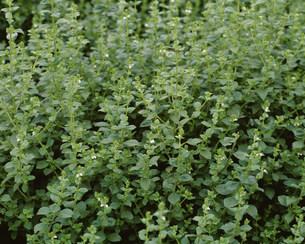 薬用植物 シロバナヤマジソの写真素材 [FYI03332876]