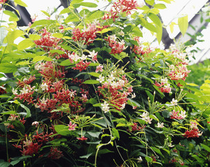 シクンシ(使君子)の花 薬用植物 漢方・駆虫整腸の写真素材 [FYI03332910]