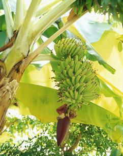 バナナの実 バショウ科の写真素材 [FYI03332941]