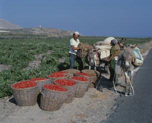 トマトの収穫とロバの写真素材 [FYI03332956]
