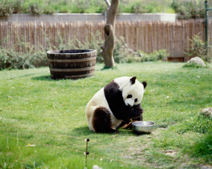 パンダ マドリッド動物園の写真素材 [FYI03334171]