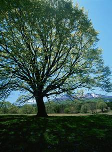 大葉菩提樹と雪山の写真素材 [FYI03335177]
