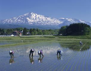 残雪の鳥海山と田植えの写真素材 [FYI03335245]