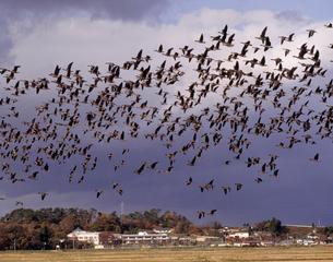 群翔するマガン 伊豆沼付近の写真素材 [FYI03335364]