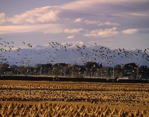 群翔する雁と栗駒山 伊豆沼付近の写真素材 [FYI03335367]