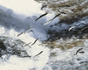 鮎の遡上の写真素材 [FYI03335423]
